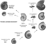 Fig-5-Sudden-appearance-of-the-serpenticone-and-simplified-ammonites-Neophyllites-and
